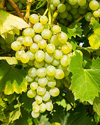 Discover The Different Grape Varieties With Paris Wine Day