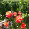 tour-champagne-rose